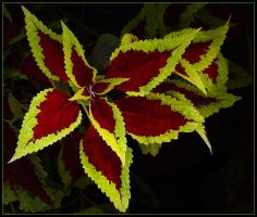 COLEUS LEAVES by THOM-B-FOTO