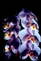 Orchids 1 by DavidBComfort