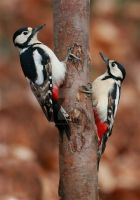 A pair of head bangers - great spotted woodpeckers by Jamie-MacArthur