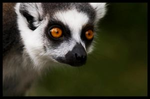 the lemur's eyes by Umbrella-Lenore