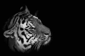 Tiger, Pilsen VII by FGW-Photography