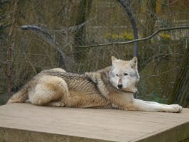Resting Wolf by Party9999999