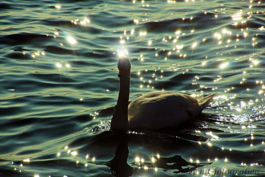 swan romance 5 by MT-Photografien