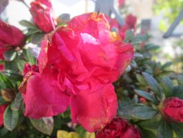 Rhododendron 2 by FuriarossaAndMimma