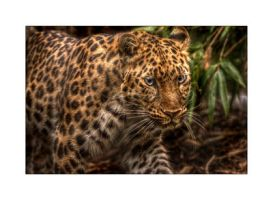 Amur Leopard HDR by Dr-Koesters