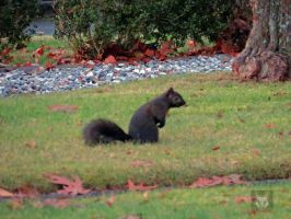 Black Squirrel by wolfwings1