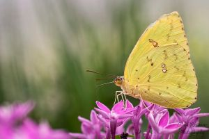 Clouded Yellow by LydiaRhianne