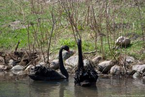 Black Swan : 06 by taeliac-stock