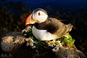 Puffin in Iceland 2 by Nightline