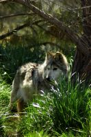 Mexican Wolf by travisdelongchamp