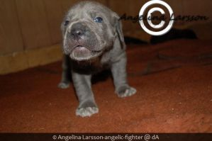 Blue Cane Corso puppy by Angelic-Fighter