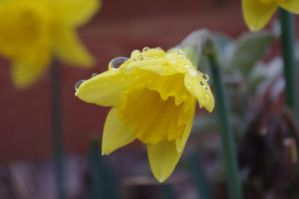 Daffodil Dew by PentaxInvasion
