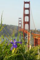 Wild Iris' of San Francisco by kayaksailor