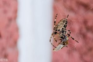 Cross Spider 3 by case15