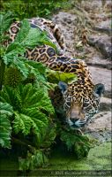 Female Jaguar 162-95 by Haywood-Photography