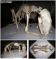 Articulated Male Raccoon Skeleton -TaxiderMegsan- by TaxiderMegsan