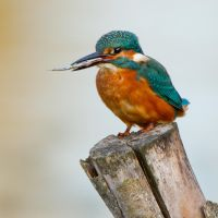 Favourite perch - common kingfisher by Jamie-MacArthur