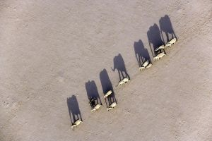 Elephants in Desert by mpoliza