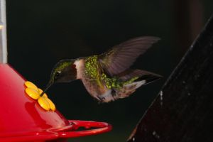 Ruby-throated Hummingbird 2 by twombold