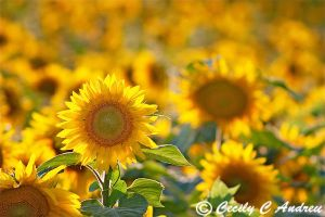 Sunflowers by CecilyAndreuArtwork
