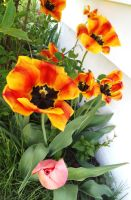 striped tulips and a pink one, ii by erinelove