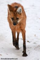 Maned Wolf II by amrodel