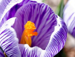 Crocus 19 by oOFloraNatureOo
