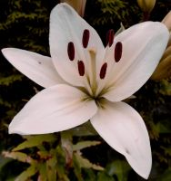 White Lily by Finnyanne