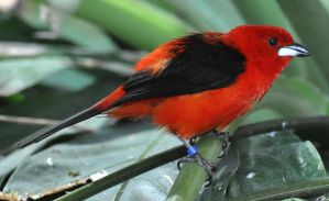 tanager stock 1 by Sikaris-Stock