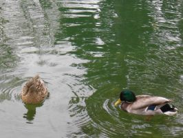 Big City Central Park - Ducks by BTIsaac