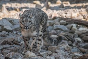 Snowleopard, KA IV by FGW-Photography