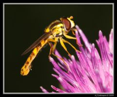 Hover Fly III by andy-j-s