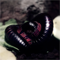 millipede uncoiling. by RowennaCox