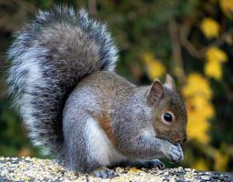 grey squirrel by Lou-in-Canada