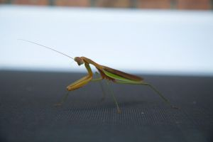 'Praying' Mantis by Trainman51