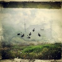 Ducks on a Pond by tidiburr
