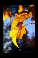Gold of autumn by Comane
