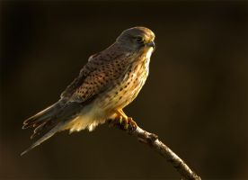 Last light - common kestrel by Jamie-MacArthur