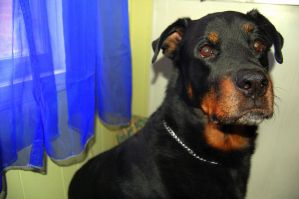 The Regal Rottweiler by TheatreElf