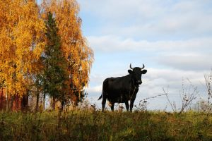 The old cow in the autumn by Nickdan