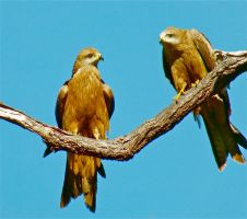 Wedge Tail Eagles by Pirate1959