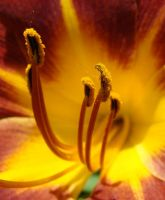 Heart of the Day Lily by GramMoo