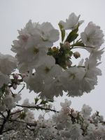 Stock - Tree Blossoms 001 by ladykraut