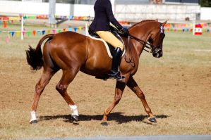 Show chestnut ridden trot sock by Chunga-Stock