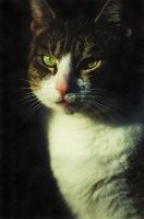 Stock Animal - Cat 4 by Carol-Moore