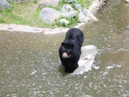 Spectacled Bear by JollyStock