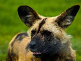 African Painted Dog 01 - Jun 12 by mszafran