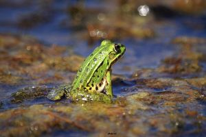 Sitting frog by s-ascic