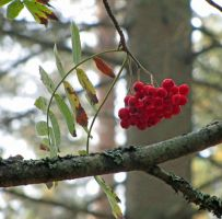 Autumn berries by Wolverica