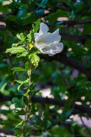 first Rose Of Sharon by bimjo